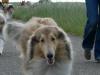 American Collie, Dutchamco's kenneldag 2008