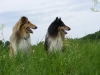 American Collie 2009