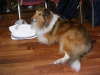 American Collie King