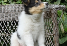 7wk Bo American Collie