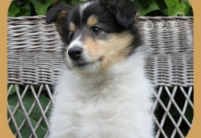 8 wk Bo American Collie
