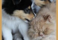 8 wk Oscar met pupjes American Collie