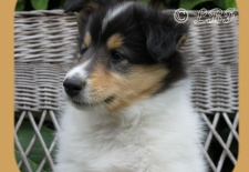8wk Bo American Collie