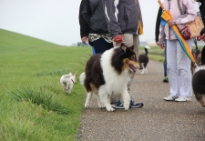 American Collie walk 2015