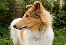 American Collie Fellow