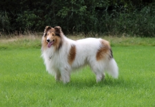 2016-08-07 American Collie Fellow b