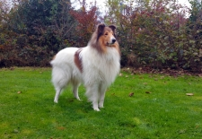 2016-11-12 American Collie Fellow1