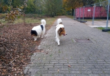 2016-11-12 American Collie Fellow 4