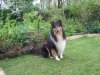 American Collie, Hopper