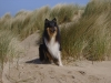American Collie, Hopper, tricolor