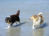 American Collie, Hopper & King, tricolor, sable