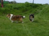 American Collie, Hopper, King, tricolor, sable