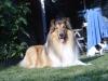 American Collie, king, sable