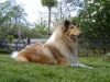 American Collie, king, sable
