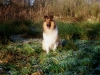 American Collie, King