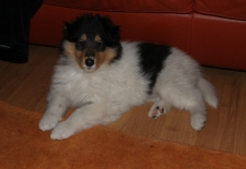 Vegas, American Collie white