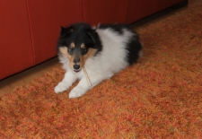 Vegas, an American Collie