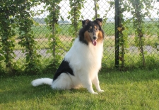 Vegas, White American Collie