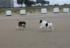 American Collie Vegas and King, our American Collies at the beach
