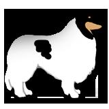 white American Collie