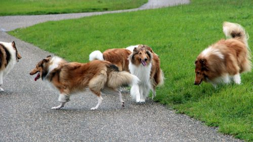 American Collie 2015