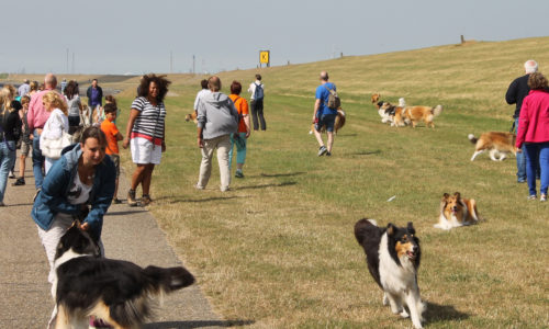 American Collie Walk