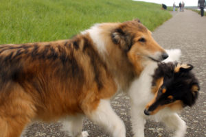 King and Vegas American Collie
